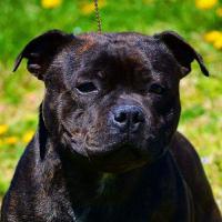e-Ruffian.com Staffordshire Bull Terrier Kennel