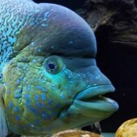 Cichlids of North/South America