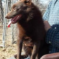 Schipperkes for Adoption in the U.S.A.