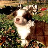 Border Collies available in the USA