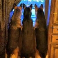 German Shepherd Owners
