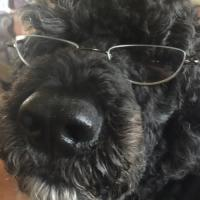Portuguese Water Dogs and their owners