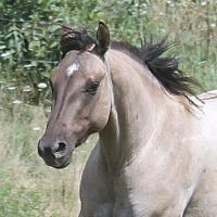Quarter Horses, Working/Performance Bloodlines