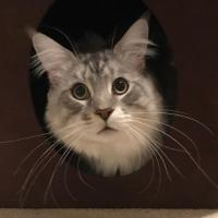 Maine Coon and Mix Pics
