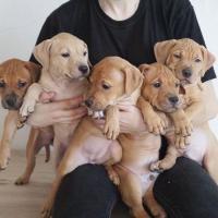 Pitbull Puppy For Adoption