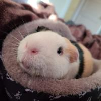 Guinea Pig Obsession