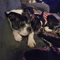 Bulldog and Boston terrier lovers