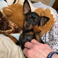 Chi-Pin Owners (Min Pin Chihuahua Hybrid)