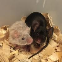 Fancy Mouse Breeders