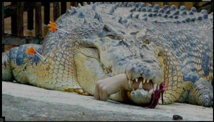 cover pic - tranked gator w severed human hand in mouth