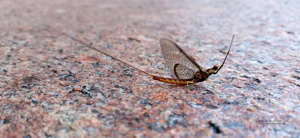 header5-mayfly